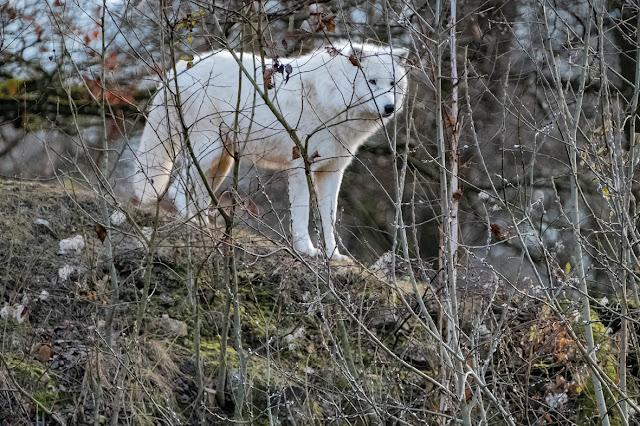 Howl / Wolf © Chris Zintzen @ panAm productions 2019