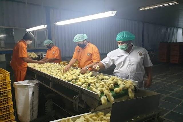 Lindungi Peternak Ayam, Kementan Kendalikan Produksi DOC FS