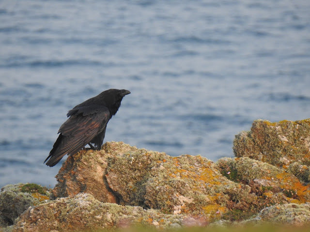 Raven on the South End