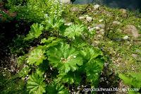 Tarczownica tarczowata- Peltiphyllum peltatum