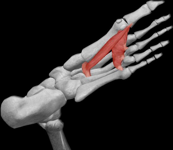 Músculo aductor del dedo gordo | iinmed
