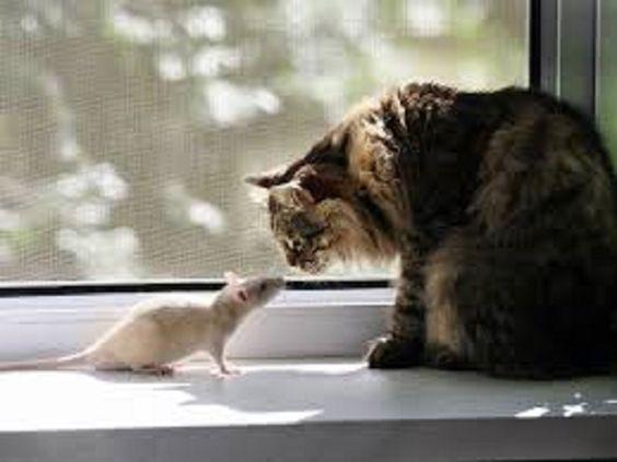 Dồn chuột vào đường cùng và cái kết bẽ bàng