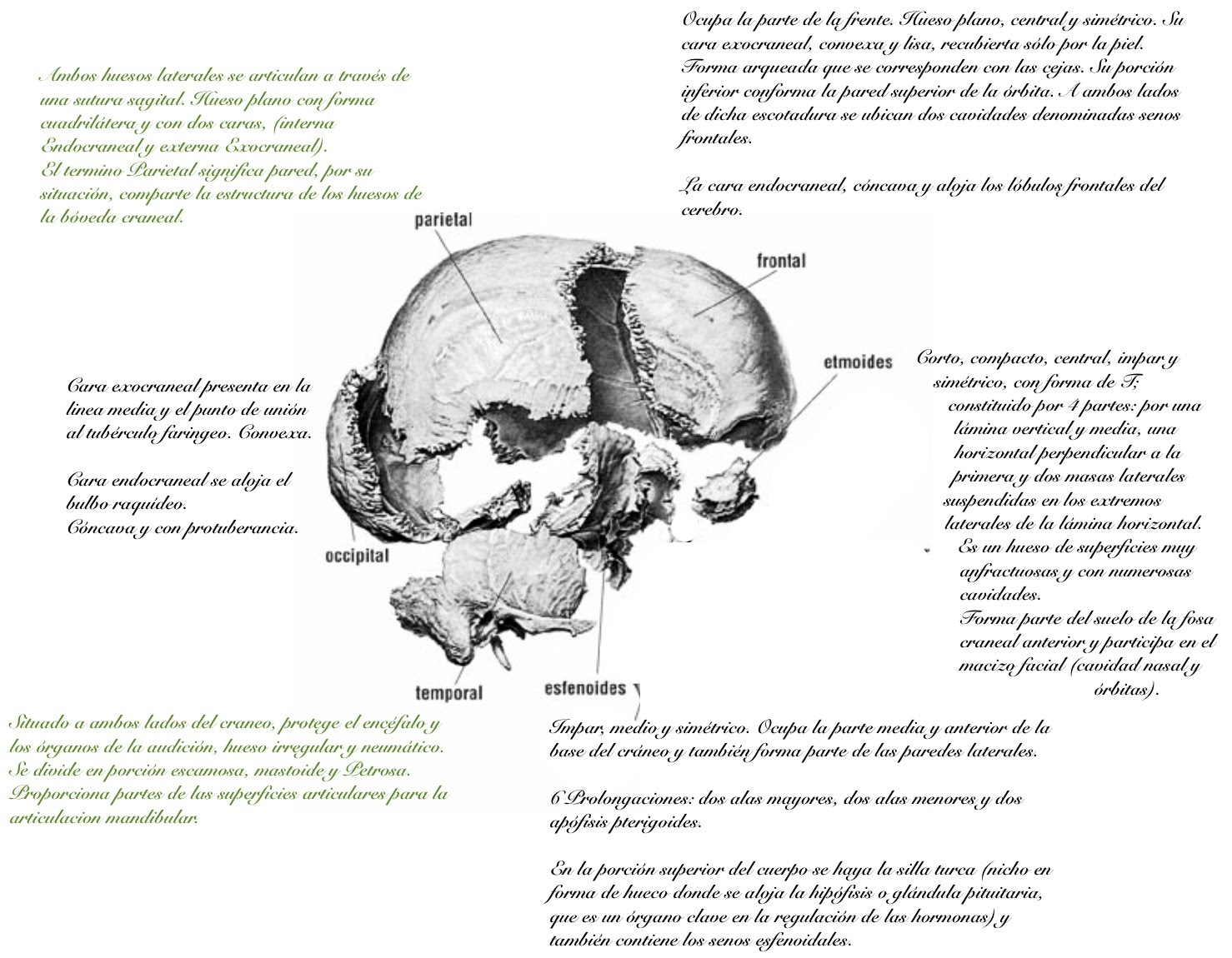 UD2 Anatomía UI1: Huesos pares e impares del cráneo.
