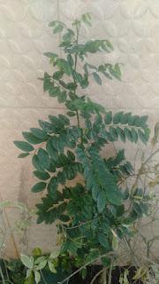 Manfaat daun katuk bagi ibu menyusui