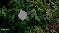 Bonica rose and hips - Elizabeth Park, West Hartford, CT