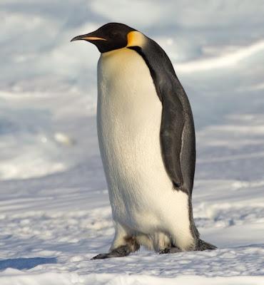 สัตว์สุดยอดคุณพ่อ, เพ็นกวิ้นจักรพรรดิ (Emperor Penguin)