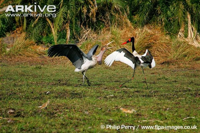 interactions between african birds saddle billed stork