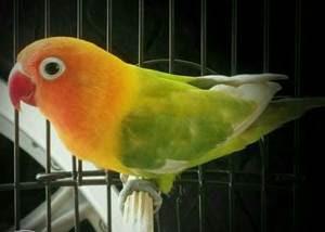 lovebird pastel ijo