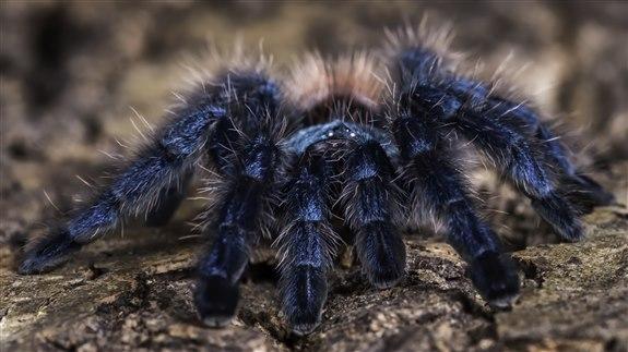 Tarantula - T Hayvan İsimleri