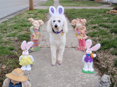 Carma Poodale, white poodle walking down sidewalk with rabbits on both sides