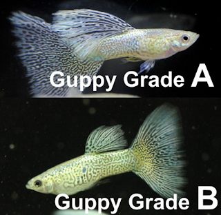kualitas ikan guppy grade A dan B