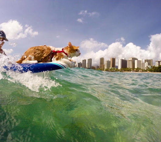 Introducing Kuli: The Ultimate One-Eyed Surfer Cat