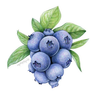 Blueberry sketch