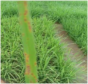 धान की फसल को करपा रोग से बचाने के