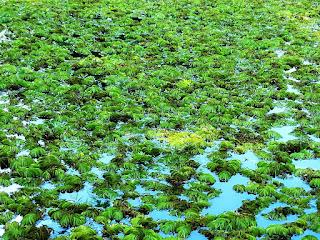 Algas no Lago - Jardim Botânico de Porto Alegre
