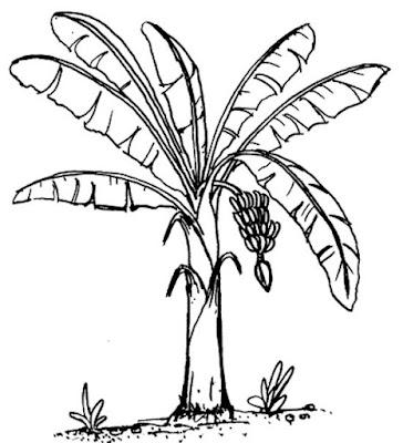 Gambar Steksa Pohon Pisang