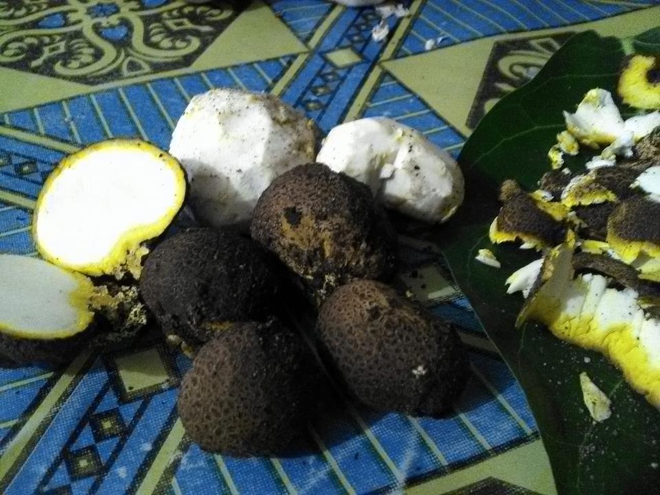jamur tangkil