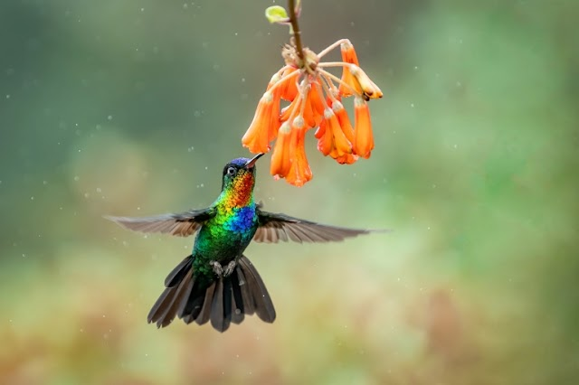 How oscillating aerodynamic forces explain the timbre of the hummingbird's hum