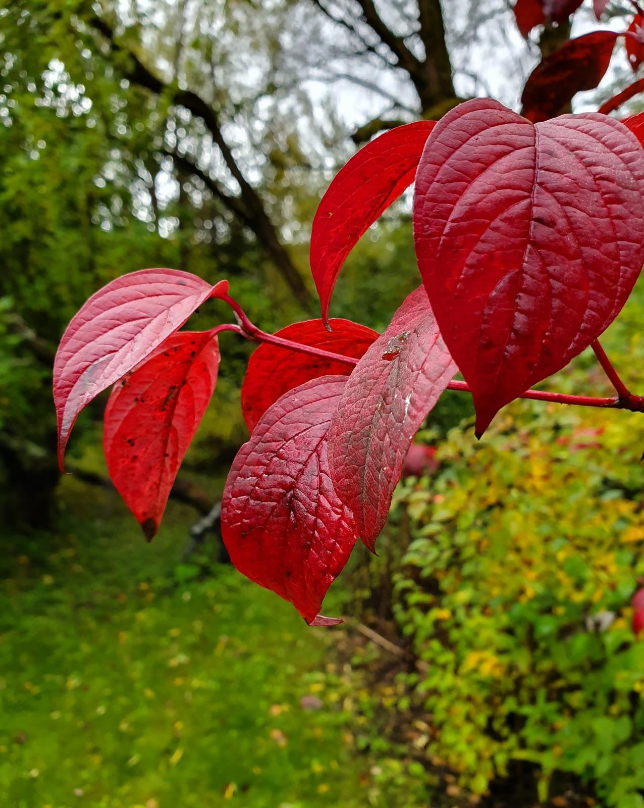 ruskan punaiset lehdet