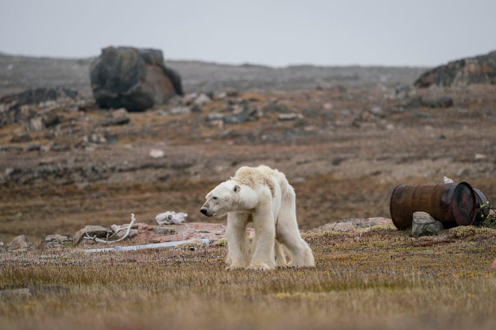 Um urso-polar faminto no Ártico canadiano (por Justin Hofman)