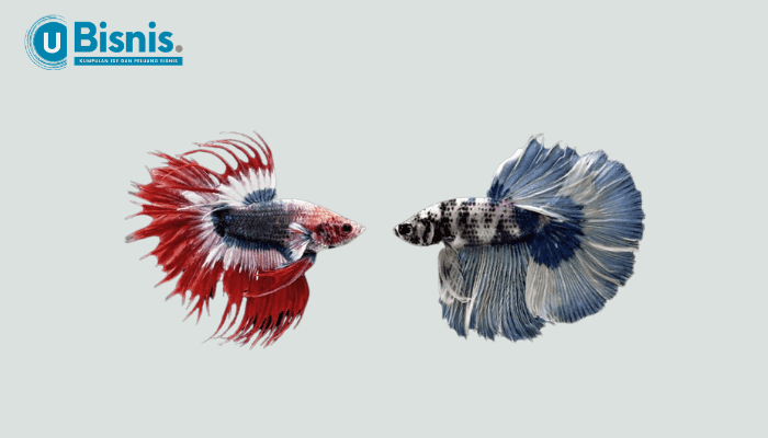 Tips Bisnis Ikan Hias dengan Budidaya Betta Splendens