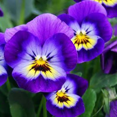 زهرة البنفسج - زهور نبات البنفسج