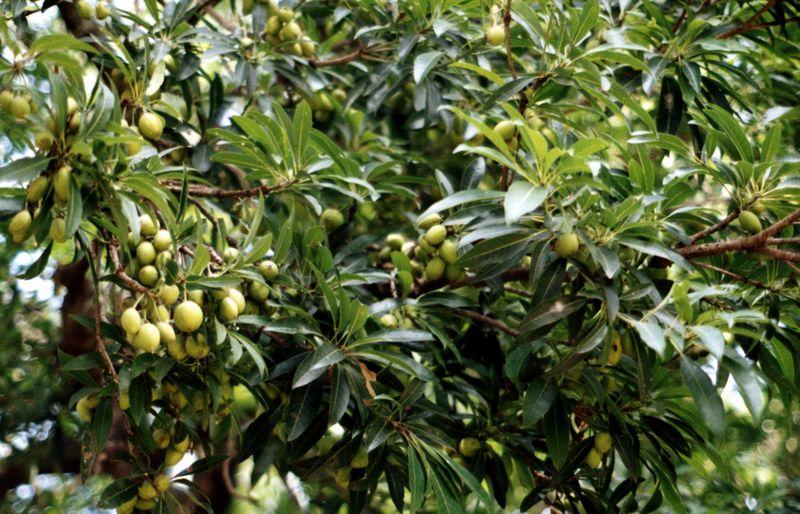 Herbal plants of sri lanka