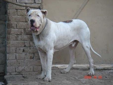 indian mastiff