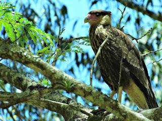 Gavião Macho no Alto de Árvore - Parque Saint Hilaire, Viamão