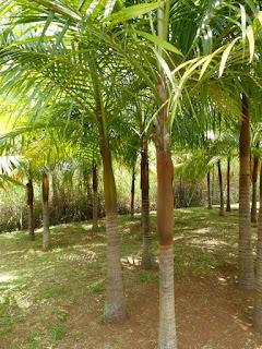Acanthophénix de Roussel - Palmiste de Roussel - Acanthophoenix rousselii