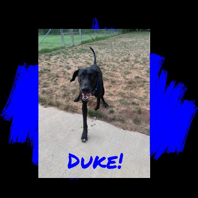 Great Dane Adoption