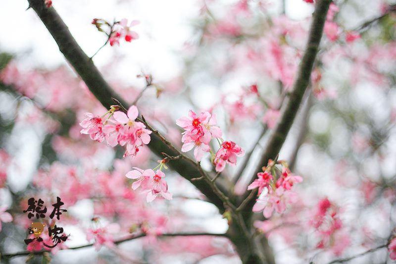 熊空茶園櫻花季|三峽熊空古窯|三峽同心茶園|三峽熊空櫻花園
