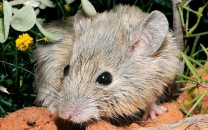 Reaparece ratón que se creía extinto hace 150 años