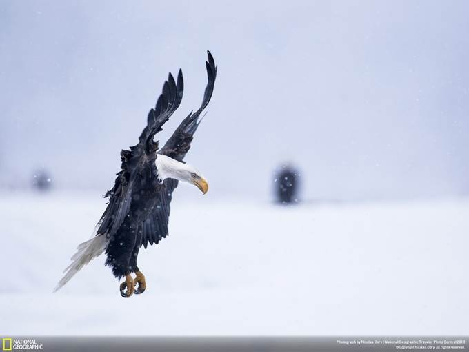 Bald Eagle Landing in Snowstorm