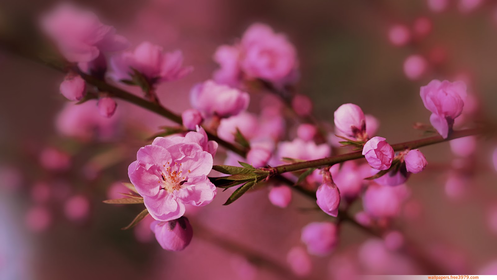 Wallpapers Cherry Blossom Wallpapers Wallpaper Cherry Blossom Wallpaper