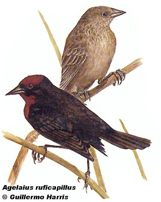 Chestnut capped Blackbird