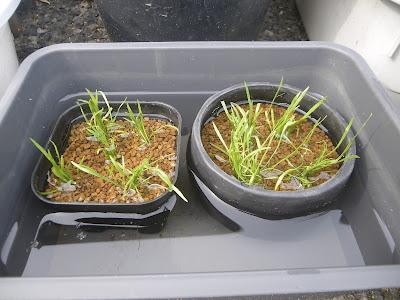 プラ鉢 植え付け後