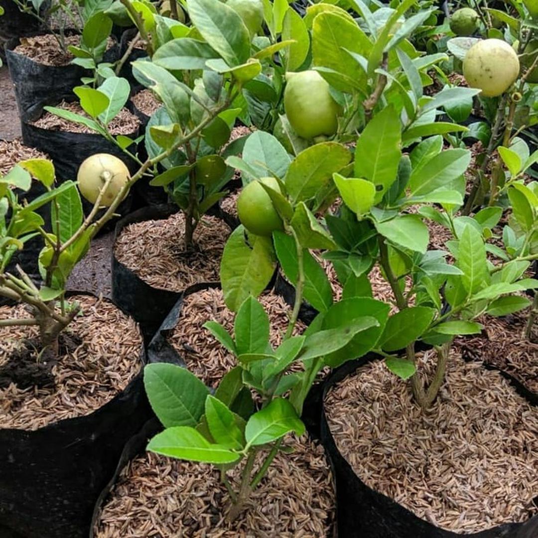 Bibit jeruk lemon california import hasil cangkok cepat berbuah Nusa Tenggara Barat