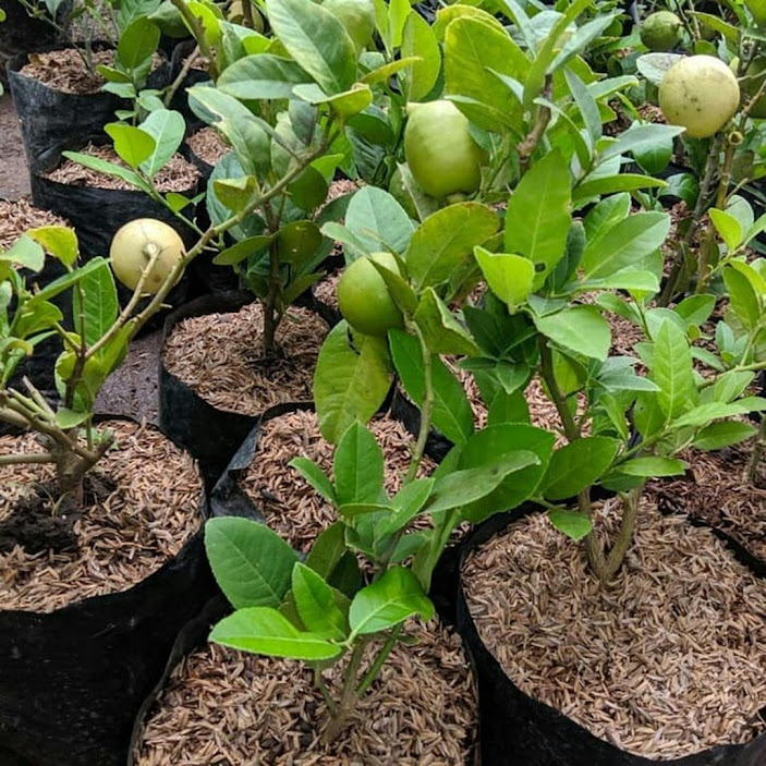 Bibit jeruk lemon california import hasil cangkok cepat berbuah Sulawesi Selatan