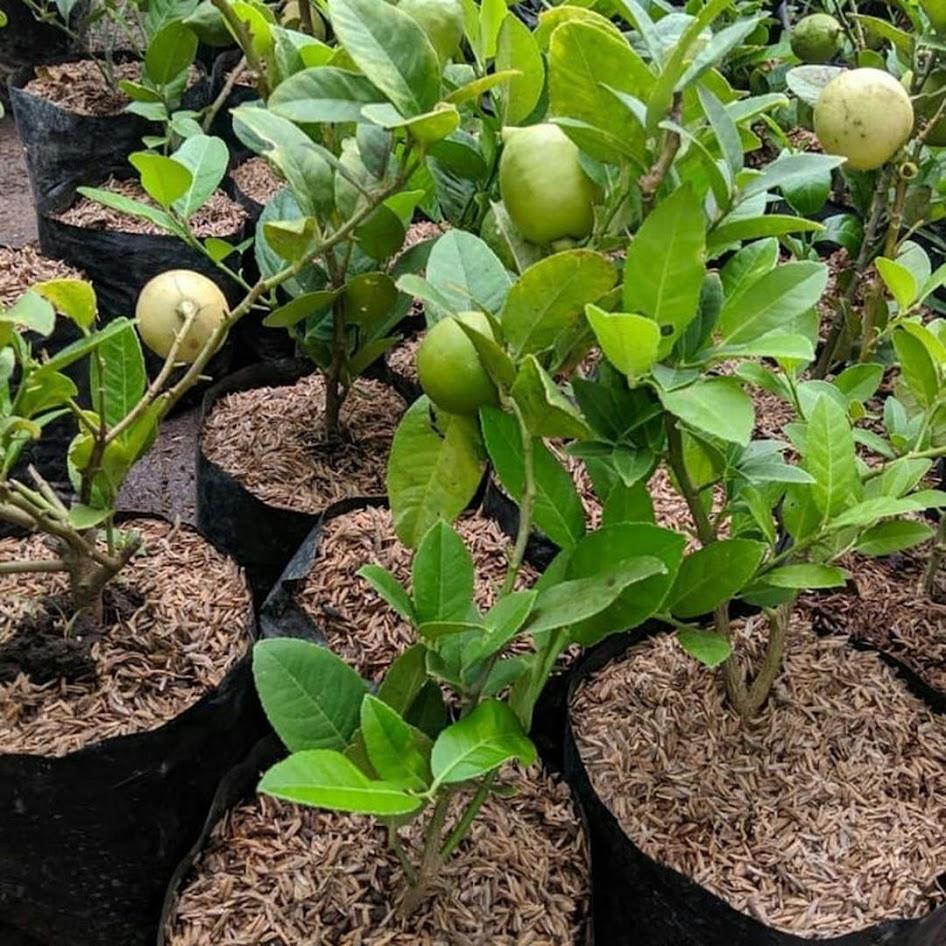 Bibit jeruk lemon california import hasil cangkok cepat berbuah Tangerang