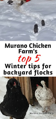 Winter chicken care tips
