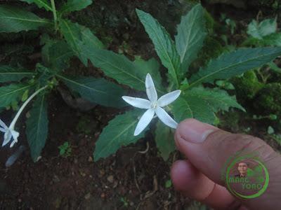 Bunga Korejat menyembuhkan asma, bronchitis dan radang tenggorokan