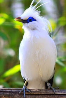 Gambar Berbagai Jenis - Jenis Burung Jalak Dan Keterangannya.