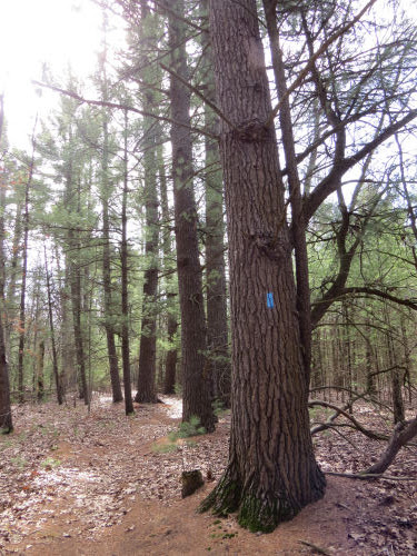 old white pines