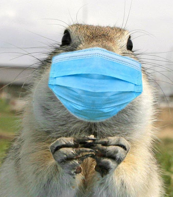 Ground squirrel with face mask COVID-19 pandemic