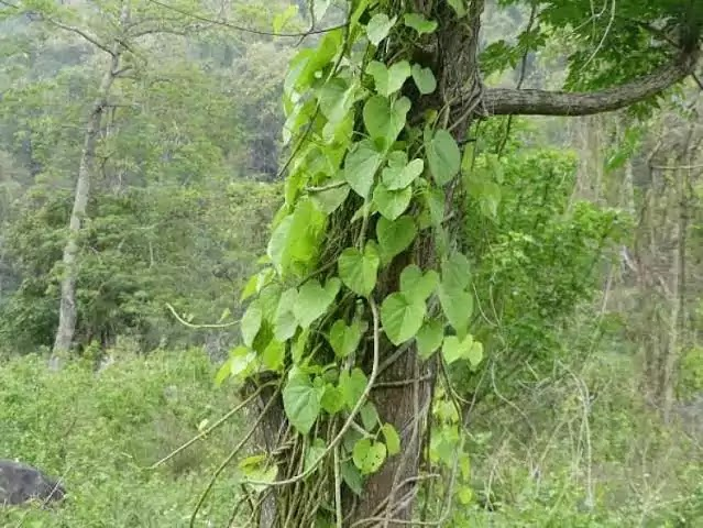 Gulvel Tree Information In Marathi