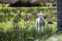 Lamb behind fence - Photo by Rod Long on Unsplash