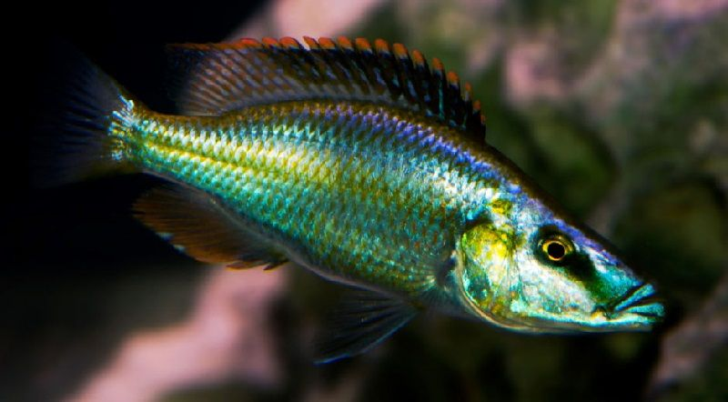 Gambar jenis jenis ikan cichlid ( Malawi Cichlids ) - Malawi Eyebiter ( Dimidiochromis compressiceps )