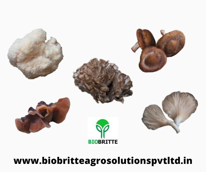 Buy mushrooms in Thane Mumbai areas | Biobritte Mushroom Supplier