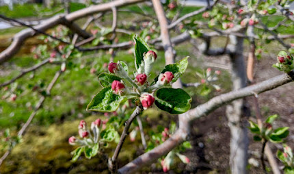 Pink buds on an apple tree